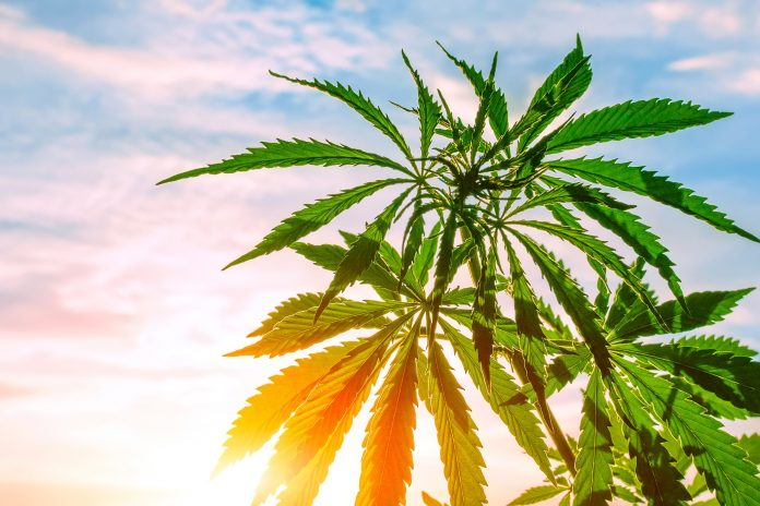 Cannabis, a flowering plant as a potential source for an approved treatment to treat Chemotherapeutic- Induced Nausea and Vomiting (CINV)