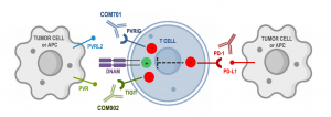 The PVRIG Pathway in the DNAM AXIS. Potential Molecular Interactions Between PVRIG/TIGIT and PD-1 Pathways Support Combination Approach to Overcome Immunotherapy Resistance. Image Courtesy: 2020 © Compugen.